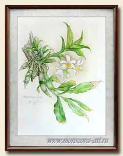 Акварельный рисунок, Chysis bractescens