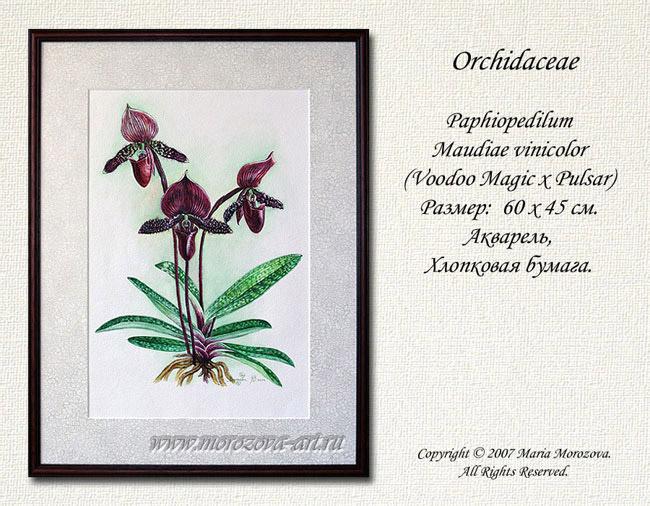 Акварельный рисунок орхидеи пафиопедилюма Paphiopedilum Maudiae vinicolor, акварели и рисунки орхидей на заказ.