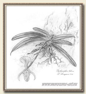 Рисунок орхидеи Paphiopedilum helenae, клон №2