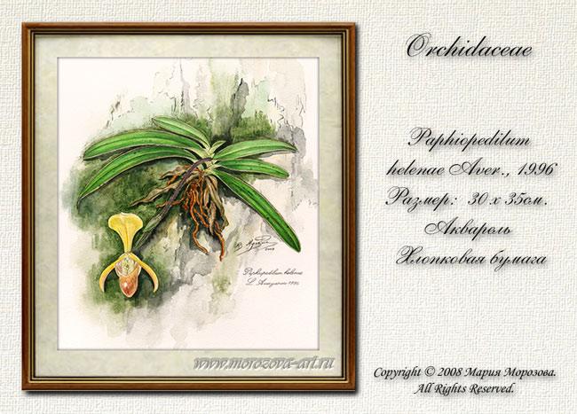 Орхидея Пафиопедилум Paphiopedilum helenae. Рисунок акварелью.