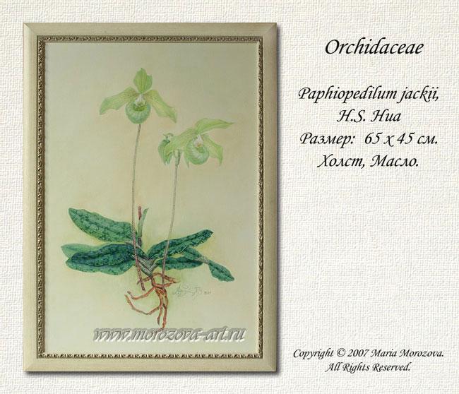Живописное полотно, Орхидея Paphiopedilum jackii, живописные изображения орхидей на заказ.