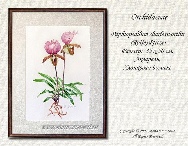 Paphiopedilum charlesworthii rolfe pfitzer акварель