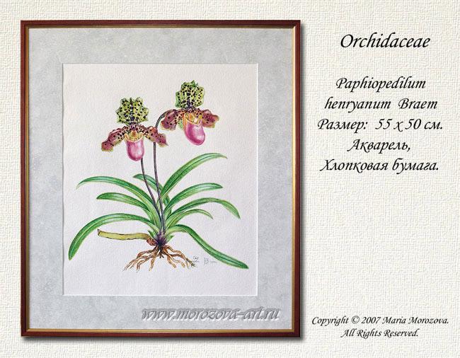 Paphiopedilum henryanum braem акварель хлопковая